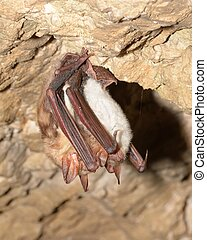 Greater mouse-eared bat Myotis myotis