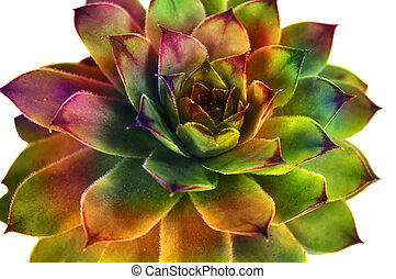 Succulent - Abstract crassulaceae succulent flower