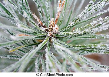 frosty pine tree in winter