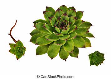 Succulent - Crassulaceae succulent flower