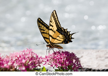 swallowtail butterfly getting flower nectar from pink...