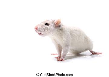 Curious baby rat