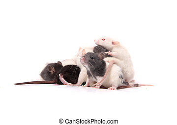 Baby rats crawling on mother rat - Group of small, cute,...