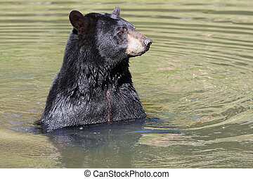 Black Bear - Black bear swiming with only its head and...
