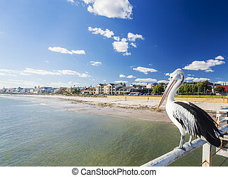 Pelican at a jetty in beachside suburb of Adelaide - Pelican...