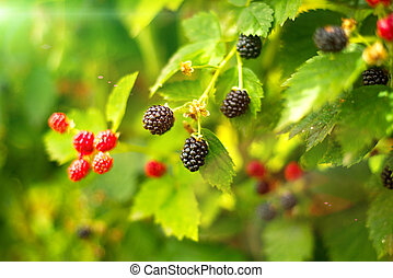 Blackberry bush in summer day - A photo of blackberry bush...