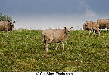 Sheep on Rolling Farmland