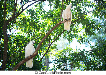 White cockatoos sitting on a tree brunch.
