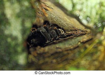 Tarantula in nest at night - An orange-knee sometimes called...