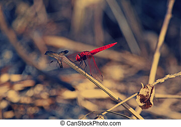 Scarlet dragonfly, Crocothemis erythraea The adult male...