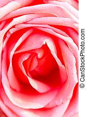 Pink rose close up.