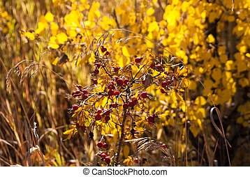 Red Berry Bush - Red berries amid yellow Fall leaves
