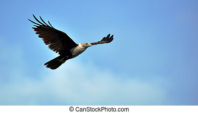 Eagle flying in the blue sky