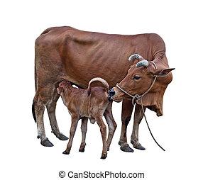 vaca, y, vaquita,