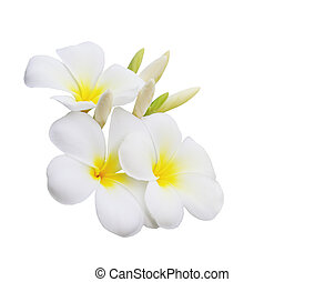 Plumeria Flower - Plumeria (Frangipani) flower isolated on...