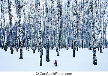 frozen birch forest in cold winter day