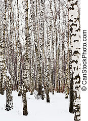 birch trees in snow covered woods