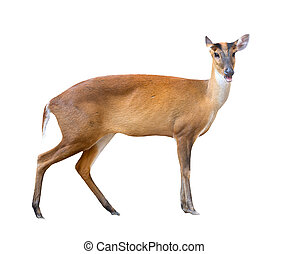barking deer isolated on white background