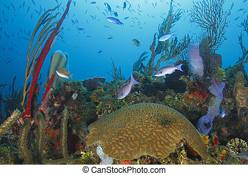 School of Fish Over a Tropical Coral Reef - School of Creole...