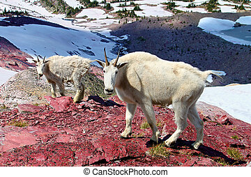 Mountain Goat Mother and Baby - Mountain Goats (Oreamnos...