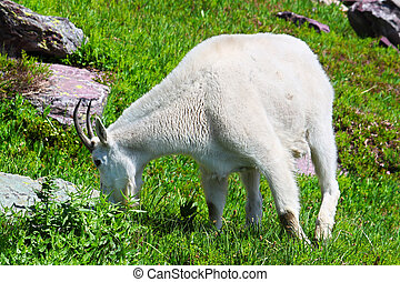 Mountain Goat Glacier National Park - Mountain Goat Oreamnos...