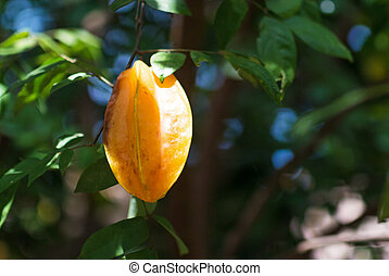 Star Fruit on tree branch in sunlight