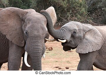 Listen Up! - African elephant interaction between two large...