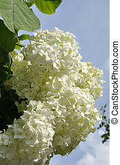 Hortansia - Beautiful white hydrangea blossoms with leaves