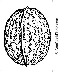 walnut - hand drawn, sketch illustration of walnut