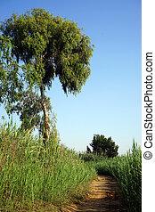 Footpath and eucaliptus - Footpath and eucaliptus tree near...