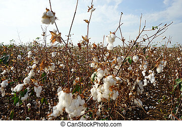 Cotton plantation in rural part of Israel...