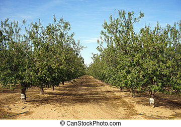 Peach trees - Rows of peach trees in orchard in Israel...