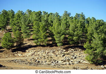 Pine trees on the mount in Judea, Israel...