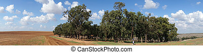 Eucaliptus - Eucaliptus grove and farmland in rural Israel...