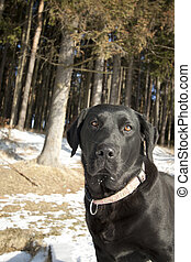 head of beatiful black dog in winter - labrador, retriever