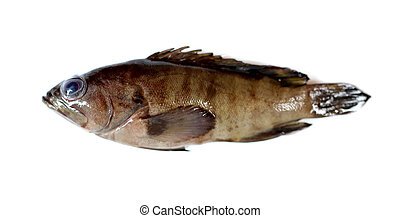 fresh grouper fish - fresh grouper fish on white background