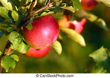 maçã,