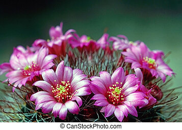 Cactus Flower - Common Pincushion blooming