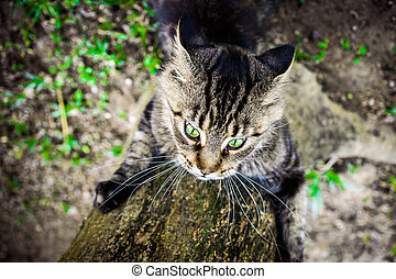 Black tabby maine coon playful cat sharpening its claws on a tree