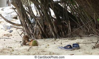 monkey find food on sandy beach - little monkey tried to...
