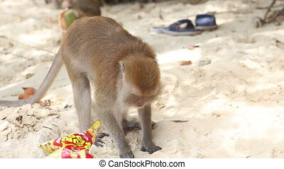 monkey find food on sandy beach - monkey chew food from the...
