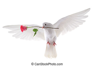 flying dove - free flying white pigeon in a beak with a rose...