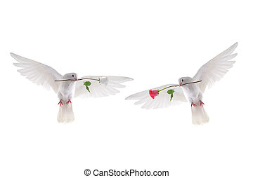 flying dove - two free flying white pigeon in a beak with a...