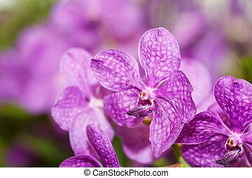 Cor-de-rosa, orquídeas