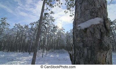 Morning in the winter forest tilt shot