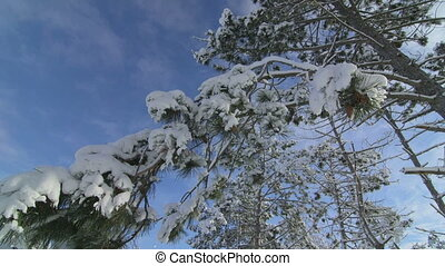 Snow covered pine trees in winter forest pan shot low angle...