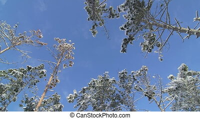 Pine trees trunks snow covered against blue sky in winter...