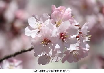 Cherry Blossom - Closeup with Soft Bokeh