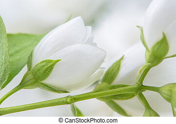White Jasmine Flowers Close-Up - A close-up of beautiful...
