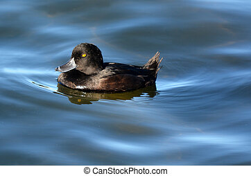 Female New Zealand scaup cygnet on Lake Rotarua, New Zealand